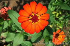 Variedad naranja del clavelón, nombre popular de Zinnia angustifolia