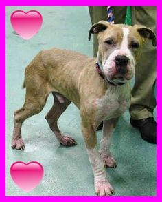 10/31 SAFE AFTER FOSTER - Brooklyn Center DICE - #A1028417 MALE, TAN / WHITE, PIT BULL MIX, 3 yrs STRAY - STRAY WAIT, NO HOLD Reason STRAY Intake condition EXAM REQ Intake Date 02/20/2015 https://www.facebook.com/Urgentdeathrowdogs/photos/pb.152876678058553.-2207520000.1424698408./965789586767254/?type=3&theater
