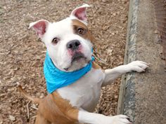 ARMIN - A1105027 - - Manhattan  TO BE DESTROYED 03/18/17  A volunteer writes: Bulldog beefcake alert!!! Part pittie, part bully, and 100 percent hunky, an outing with Armin feels like a celebrity encounter. As we trot down the street together, all eyes turn our way to admire him–the kid's got charisma! But he's so much more than just a pretty face. Check out the notes from his former owner and you'll find that behind those soulful eyes lies a sociabl