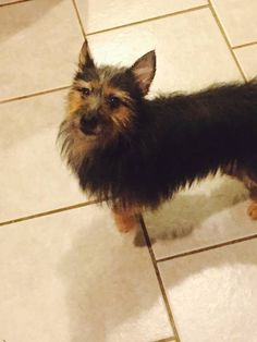 Lost Dog - Mixed Breed in BRONX, NY     	 Pet Name:	Dior   (ID# 104958) Gender:	Male Breed:	Mixed Breed Breed 2:	Australian Terrier Color:	Black Color 2:	Brown Pet Size:	Medium (20-39lbs) Pet Age:	3 years Date Lost:	08/28/2015 Zip Code:	10456 (BRONX, NY) See All Lost Dogs In BRONX, NY