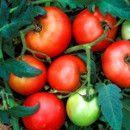 10 reglas sencillas para cultivar los mejores tomates ecoagricultor.com