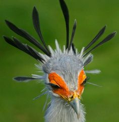 The Secretary bird- I want one of they can be had. This would be better than a peacock