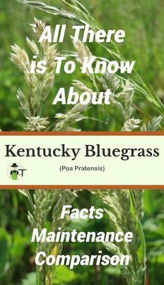 Kentucky Bluegrass, or Poa pratensis, is commonly known as common meadow grass, smooth meadow grass, and Kentucky bluegrass. While not native to North America, it is an incredibly popular option for lawns in the United States and is spread all across the country. Kentucky Bluegrass was brought to North America by the Spanish mixed with other grasses, and originates in Morocco, Algeria, Europe, and northern Asia. Lawn Care Schedule, Lawn Care Tips, Succulent Gardening, Container Gardening, Flower Gardening, Indoor Gardening, Centipede Grass, Lawn Care Business Cards, Starting Seeds Indoors