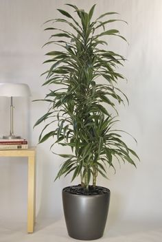 Hawaiian Warneckii Cane from Houston Interior Plants