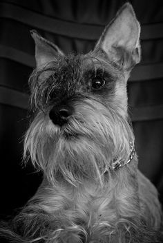 Meda by Milos Gigic #Miniature #Schnauzer