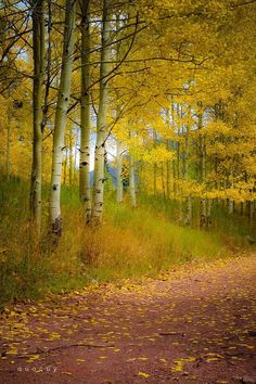 Autumn ~ Walking slowly and breathing in the fragrance of aspen. Beautiful World, Beautiful Places, Autumn Scenes, Aspen Trees, Tree Forest, Landscape Photos, Belle Photo, Beautiful Landscapes, Mother Nature
