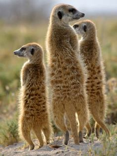 Meerkats are highly social mammals that form packs of between 10 and 30 individuals consisting of several breeding pairs. Little Pets, African Animals, Mammals, Beast, Cute Animals, Creatures, Squirrels, Gallery, Pictures