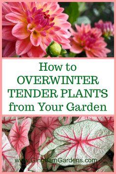 Learn How to Overwinter Tender Bulbs like Dahlias Gladiolus Begonias Canna Lilie Garden Plants, Shade Garden, Fruit Garden, Lily Care, Potato Vines, Overwintering, Winter Plants, Love Garden, Garden Ideas