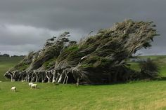 Windswept Trees in the Brute Slope Point, New Zealand. The southernmost point of beautiful New Zealand mainly is used for sheep herding. Photo by: Ben Seabird Film Tim Burton, Beautiful World, Beautiful Places, Twisted Tree, Nature Tree, Sea Birds, Growing Tree, Plantation, Photos Du