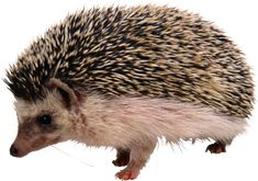 The Difference Between A Hedgehog And Porcupine? Pocket Pet, Reference Images, Cute Icons, Wildlife Photography, Fun Facts, Cute Animals, Creatures, Photoshop, Clip Art