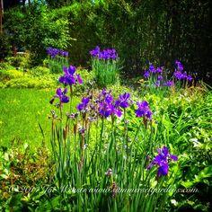 Siberian Iris in full bloom in a NJ front yard garden.   Landscape, garden design and construction services in the NY and NJ areas.  Summerset Gardens Elegant Landscape Design, Fine Workmanship   845-590-7306  http://www.summersetgardens.com