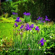 Siberian Iris in full bloom in a NJ front yard garden.   Landscape, garden design and construction services in the NY and NJ areas.  Summerset Gardens Elegant Landscape Design, Fine Workmanship   845-590-7306  http://www.summersetgardens.com