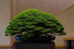 Yezo Sqruce Titosemaru 蝦夷松 「千歳丸」   by Norio.NAKAYAMA