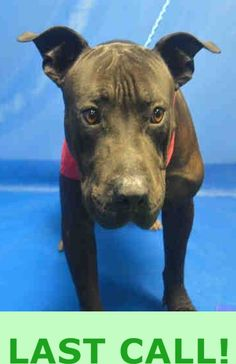 GUCCI (A1680401)I am a male black Chinese Sharpei mix. The shelter staff think I am about 1 year old. I was found as a stray and I may be available for adoption on 02/22/2015. — hier: Miami Dade County Animal Services. https://www.facebook.com/urgentdogsofmiami/photos/pb.191859757515102.-2207520000.1424979735./934916736542730/?type=3&theater