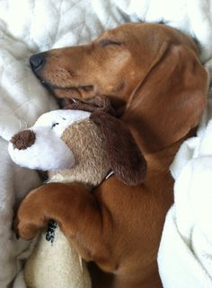 Awww... #dogs #pets #canine #puppies #doxie
