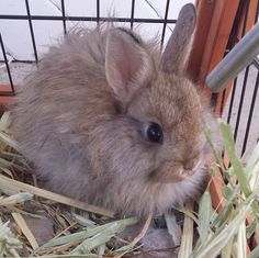Meet Capri she is an #adorable #babybunnie I have the pleasure of caring for. #bunniesofinstagram #suzspetservices - http://ift.tt/1HQJd81