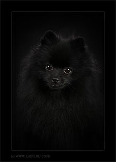 Delightful Comical And Sweet Pomeranian Ideas. Charming Comical And Sweet Pomeranian Ideas. Pomeranian For Sale, Spitz Pomeranian, Black Pomeranian, Cute Pomeranian, Pomeranians, Cute Puppies, Cute Dogs, Dogs And Puppies, Animals And Pets