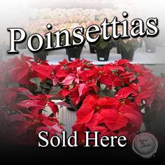 Poinsettias Sold Here Design 2 - 3' x 3' Perfect for retail stores, small businesses, churches, garden centers and more! Advertise when your holiday poinsettia selections have arrived. Customization on design and size available upon request at no additional charge.  Message @SignedandZealed or visit www.signedandzealed.com for more information.