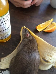 To Understand the Banana, You Must Become the Banana - World's largest collection of cat memes and other animals Animals And Pets, Baby Animals, Funny Animals, Cute Animals, Strange Animals, Wild Animals, Hamsters, Rodents, Dumbo Rat