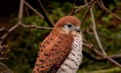 Mauritius Kestrel... Once predicted to go the way of Mauritius' most famous bird, the Dodo, its population has since been on the rise.