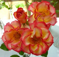 Betty Boop Rose, I have this Rose Bush!