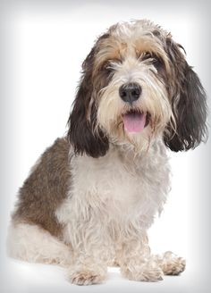 How to select a dog that's right for you Dog Breed Names, Dog Breed Info, Dog Breeds, Petit Basset Griffon Vendeen, Griffon Dog, Hound Dog, Basset Hound, I Love Dogs, Cute Dogs