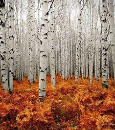 Aspins in Autumn