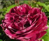 Afbeelding van http://www.rozenkopen.be/Resources/roosbarongirodde.jpeg.