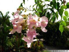 Bignonia rosea, Pandorea ricasoliana, Tecoma ricasoliana Période de floraison: été, automne Couleur des fleurs: rose Exposition: ensoleillée à mi-ombre Type de sol: riche et drainant Acidité du sol: tolérant Humidité du sol: normal Utilisation: conteneur, patio, pergola, serre chaude, à l'extérieur en zone au climat très doux Hauteur: jusqu'à 10m Type de plante: plante grimpante exotique Type de végétation: vivace Type de feuillage: persistant à semi persistant Rusticité: peu rustique, -7°C