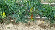 Glu arboricole pour fabrication de pi ges cotre la mouche - Frequence arrosage tomate ...