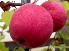 Omenapuu Norland