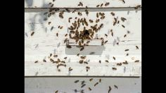 Bee Removal Tampa With #Ecobeeremoval. So now you need not to nail down. Look at this #beeremoval video: https://vimeo.com/180765703