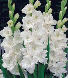 Gladiolus - Plant early spring and they bloom the same year. Easy to grow as long as you provide support. Gladiolus Flower, Flower Petals, My Flower, Wonderful Flowers, White Flowers, Beautiful Flowers, Gladioli, Blossom Garden, White Plants