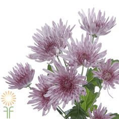 Shop Fabulous Florals' huge collection of gorgeous, fresh-cut, wholesale flowers, DIY wedding flowers and luxurious foliage, including Lavender Disbud Spider Mums. Diy Wedding Flowers, Diy Flowers, Colorful Flowers, Spider Mums, Chrysanthemum Flower, Flowers Online, Lavender Flowers, Daisy, Bloom