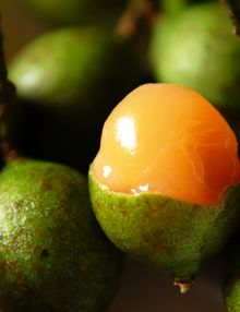 Mamones (Spanish Lime): Sweet and tart, very delicious and different! ----These are the bomb!