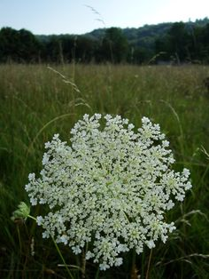 Can this count as my favorite flower?Queen Anne's Lace