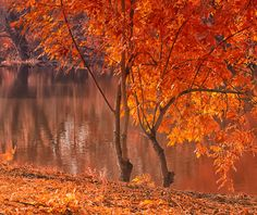 Autumn idyll - Two young maples on the river bank