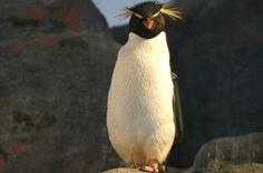 Rockhopper Penguin (by MetallichicA)