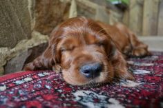 Finley the Irish Setter Pictures 1058559