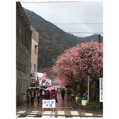 The highlight of this windy and rainy day, sakuras in bloom all over Kawazu!