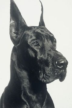 This #Great #Dane is so proud) #dogs #photo