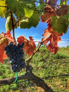 #harvest #redwine #grape #autumn