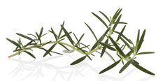 Rosemary - A natural antiseptic with an invigorating effect on both body and mind, used for centuries to cleanse and condition hair. Experience the benefits in our Rosemary Mind Shampoo and Condition, Shampure Shampoo and Conditioner.