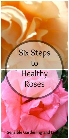 Six Steps to Healthy Roses with Sensible Gardening and Living #rosegardening