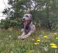Wolfhound, Dogs, Animals, Animales, Animaux, Pet Dogs, Irish Wolfhounds, Doggies, Animal