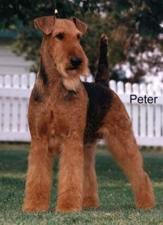 Airedale Terrier Grooming airedale