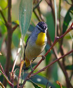 Pardalotus punctatus - Spotted pardalote, male by Kamelfisk, via Flickr