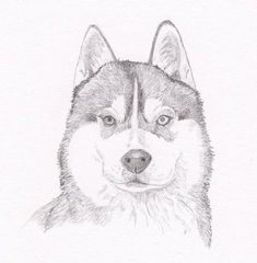 Siberian Husky Signed Personalized Original Pencil Drawing Double Matted Print -Free Shipping- Deser