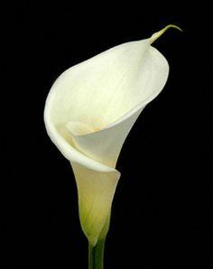 white calla lilies                                                                                                                                                                                 More