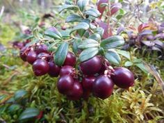 Lingon berries- my favorite fall foraging foray!